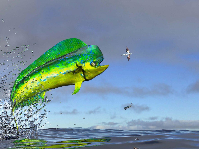 mahi-mahi jumping out of the water
